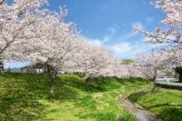 記事タイトル「社内桜前線」のサムネイル画像